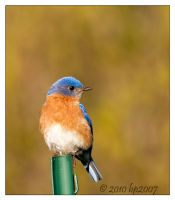 Eastern Bluebird - 3 by bp2007