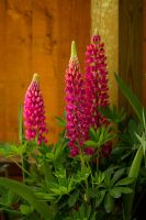 Loopy Lupins by parallel-pam