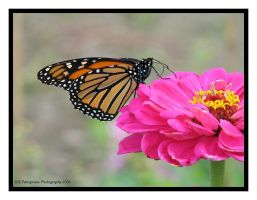 Monarch 2 by picworth1000wrds