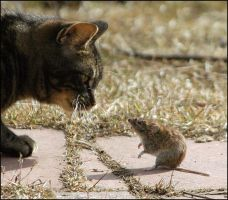 cat and mouse by montezumas