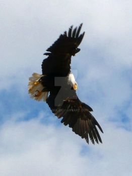 Eagle 2 by Gnoul