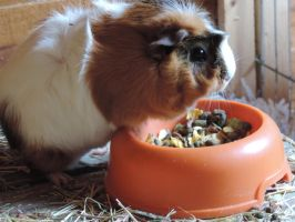 Maple the guinea pig. by mortified-Archie