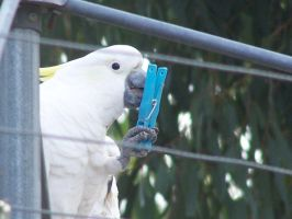 Sulpher Crested Cockatoo 10 by DreamsDeleted