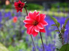 Dahlia dream 4 by JanuaryGuest