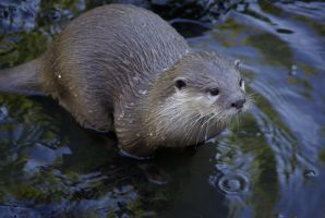 Otter by jackiep14