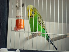 A Budgie by Melops1ttacus