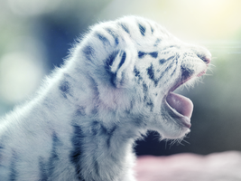 The White tiger by userGRAND