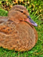 Duck at Lower Slaughter by s-kmp