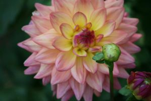 dahlias in Flora garden 27 by ingeline-art