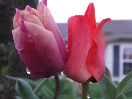 Tulip and Red Flower by knsmith0110