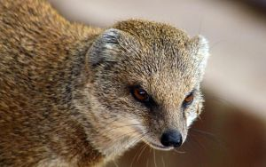 Mongoose by 53kshun8