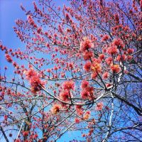Red Flowering Tree by marc-the-kid