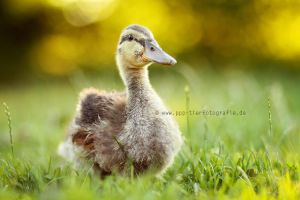 wild duck by Partridge-PetPics