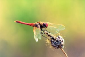 red dragonfly by JuncalDelacroix