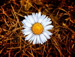 Unchained daisy by rhb4