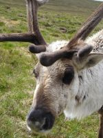 Scottish Reindeer by johnfsfreeman