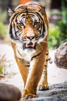 Tiger by 904PhotoPhactory