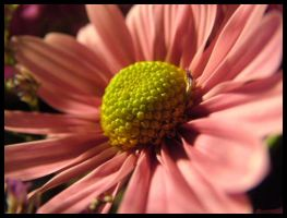 Pink Daisy by paledeath