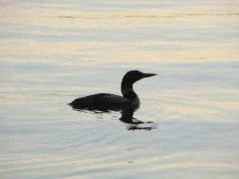 Loon by robpausch