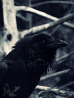 A darker Portrait - Common Raven by MotherBlessing