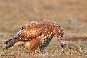 Common Buzzard  with its prey by RichardConstantinoff