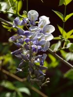 Wisteria 01 by botanystock