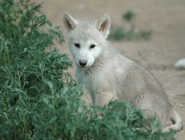 Wolf pup in the weeds by Nieme