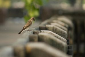 Northern Roughwinged Swallow May  2014  1 by toshema