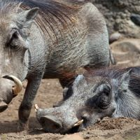 Hog Heaven by clippercarrillo