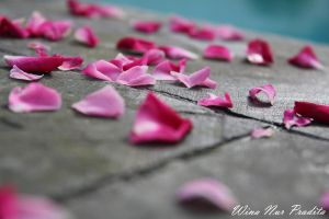 petals of rose by choisiwona