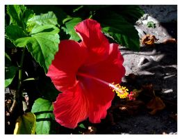 Hibiscus by water-dragon
