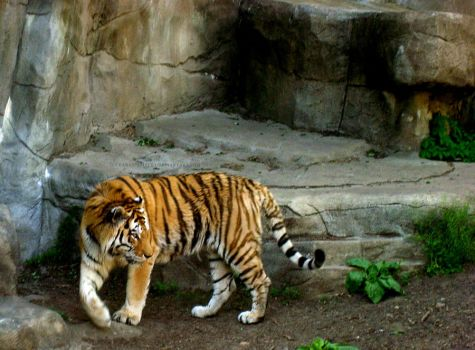 Tiger Midstep by darkspirited1