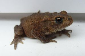 A Baby Toad ONLY 2 CM LONG!! Back Garden by Patio by SrTw