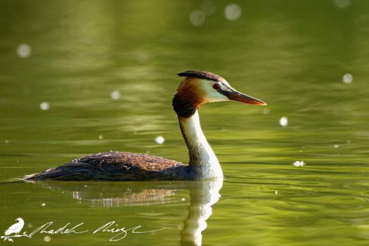 Great crested grebe (Podiceps cristatus) by PhotoDragonBird