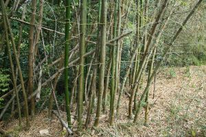 Bamboo XXI by KW-stock