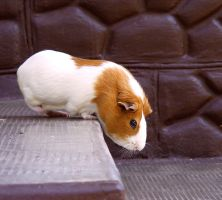 Guinea Pig on the Step II. by LadyAyslinn