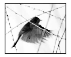 Black and White Junco Bird Fly by houstonryan