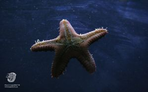 Random Starfish 1 by leopardwolf