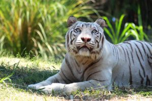 White tiger 3 by AngiWallace