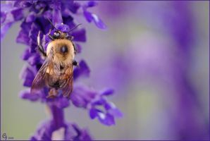 Purple bumblebee by Louvargent