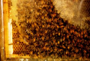 Bees by MariMcGee