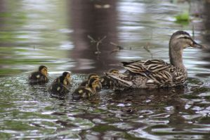 Family of Ducks 2 by eillahwolf
