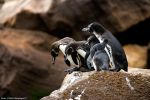 Four Penguins Ready To Swim by photoboy1002001