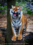 Photo Session another Tiger 6 by Jagu77