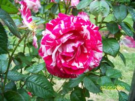 pink and white rose by kimmie456
