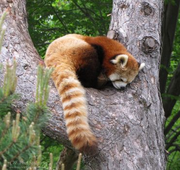 Red Panda 587 by caybeach