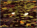 A water lily by Bieia