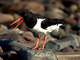 Haematopus ostralegus IV by nordfold