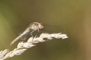 Dragonfly 12 by evilke