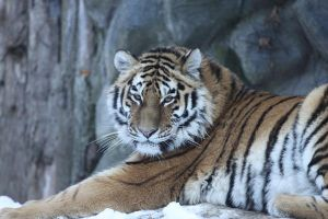 Tigress 26 by Tigerlover4